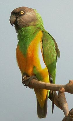 Сенегальский длиннокрылый попугай (лат. Poicephalus senegalus)