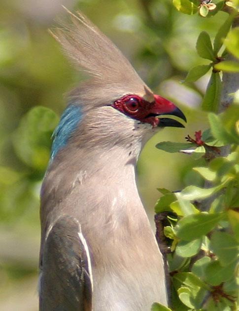 http://birds-breed.net/UserFiles/Image/myshanki/sineshapochnaya_ptitca_mysh01.jpg
