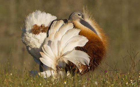 http://birds-breed.net/UserFiles/Image/zhuravleobraznye/drofinye02.jpg