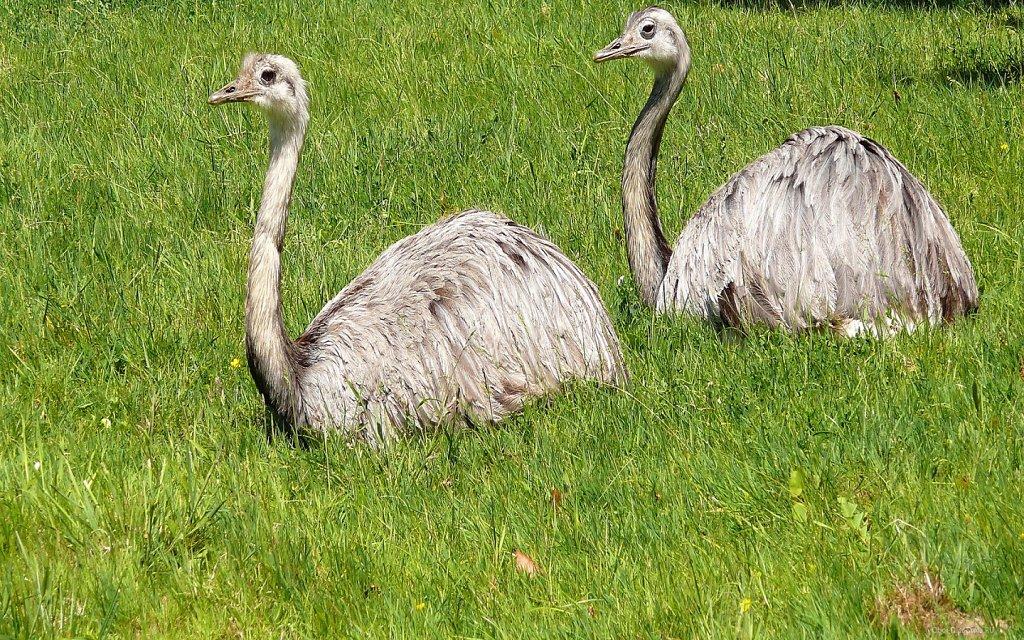 Два страуса