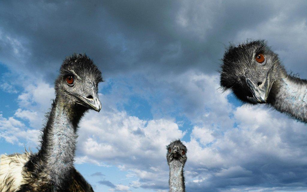 страусинные головы на фоне неба