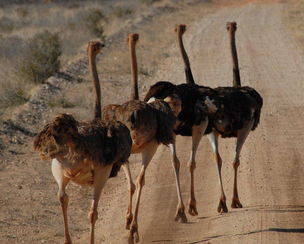 страусы вид сзади