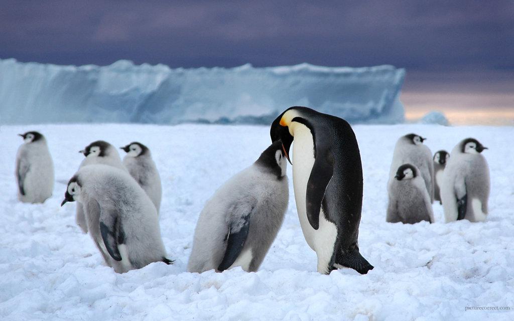 Пингвин кормит птенца