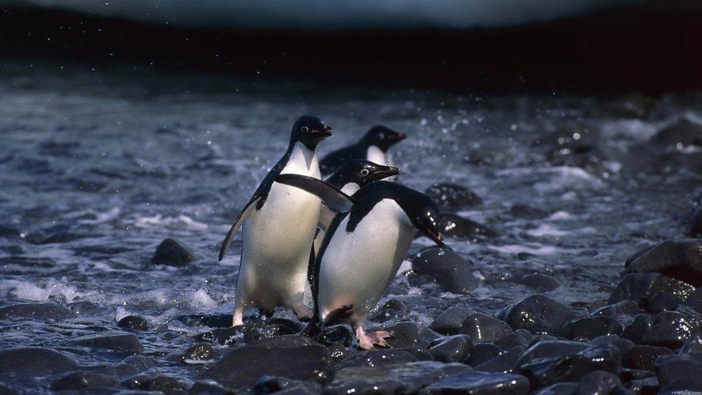 Пингвины бегут по камням